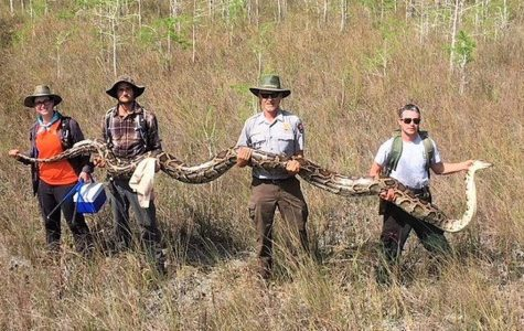 Record-Setting Python Caught in Florida
